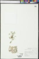 Gnaphalium palustre image