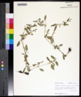 Pentodon pentandrus image