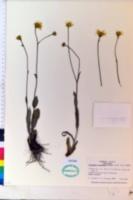 Pityopsis oligantha image