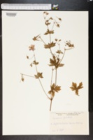 Image of Geranium palustre