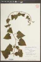 Image of Asarina erubescens