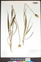 Microseris sylvatica image