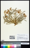 Astragalus lentiginosus var. australis image