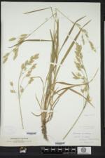 Bromus secalinus image