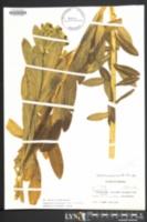 Image of Euphorbia purpurea