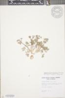 Erigenia bulbosa image