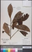 Meliosma glabrata image