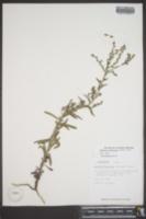 Image of Hackelia americana