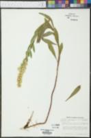 Solidago elongata image