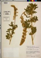 Lupinus barbiger image