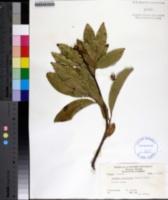 Exothea paniculata image