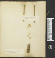 Phaeosphaeria juncina image