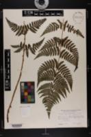 Image of Dryopteris x triploidea