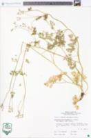 Chaerophyllum procumbens var. shortii image
