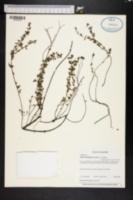 Lythrum flagellare image
