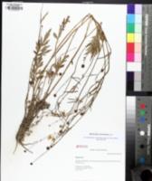 Ranunculus caricetorum image