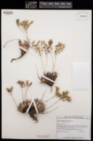 Dudleya abramsii subsp. calcicola image