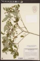 Vaccinium stamineum image