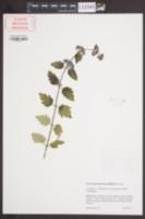 Image of Caryopteris x clandonensis