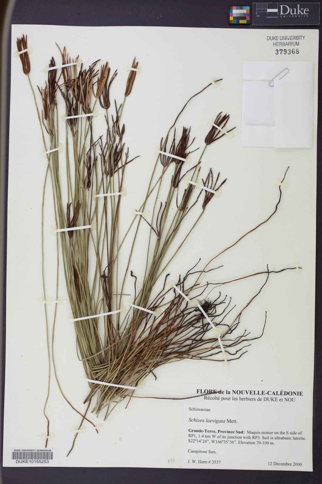 Schizaea laevigata image