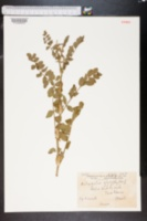 Image of Astragalus glycyphyllos
