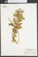 Stillingia sylvatica image