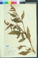 Image of Persicaria nodosa
