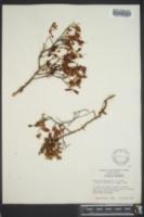 Hypericum buckleyi image