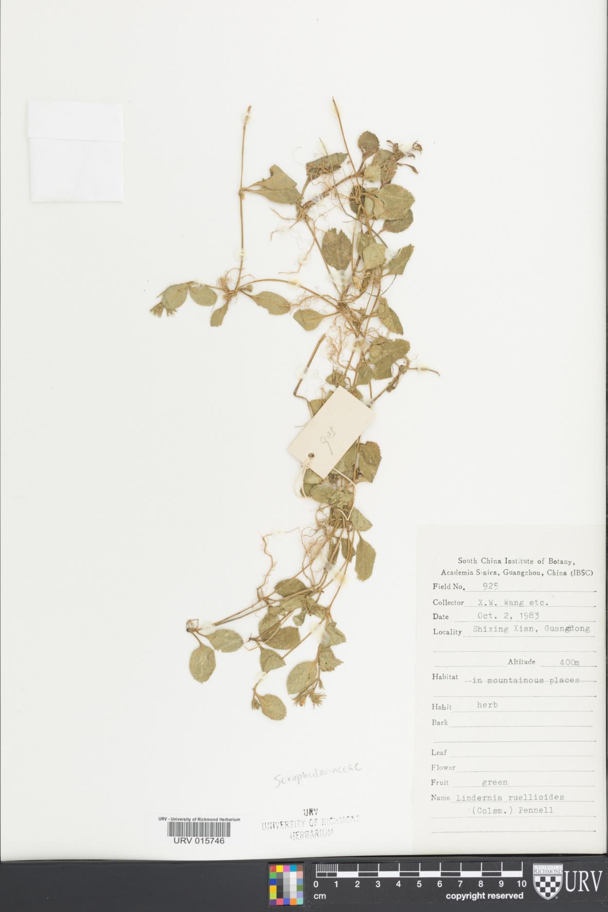 Lindernia ruellioides image