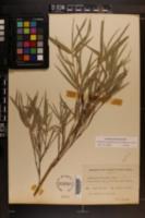 Arundinaria appalachiana image