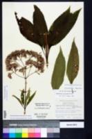 Eutrochium fistulosum image