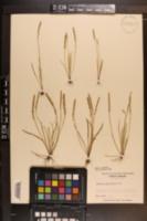 Plantago heterophylla image