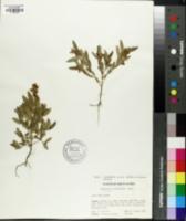 Image of Crotalaria sessiliflora