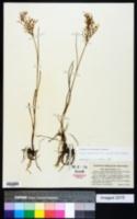 Image of Juncus pelocarpus