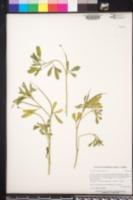 Trigonella foenum-graecum image
