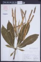 Image of Alstonia macrophylla