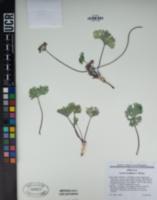 Cymopterus gilmanii image