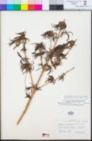 Diplacus longiflorus image