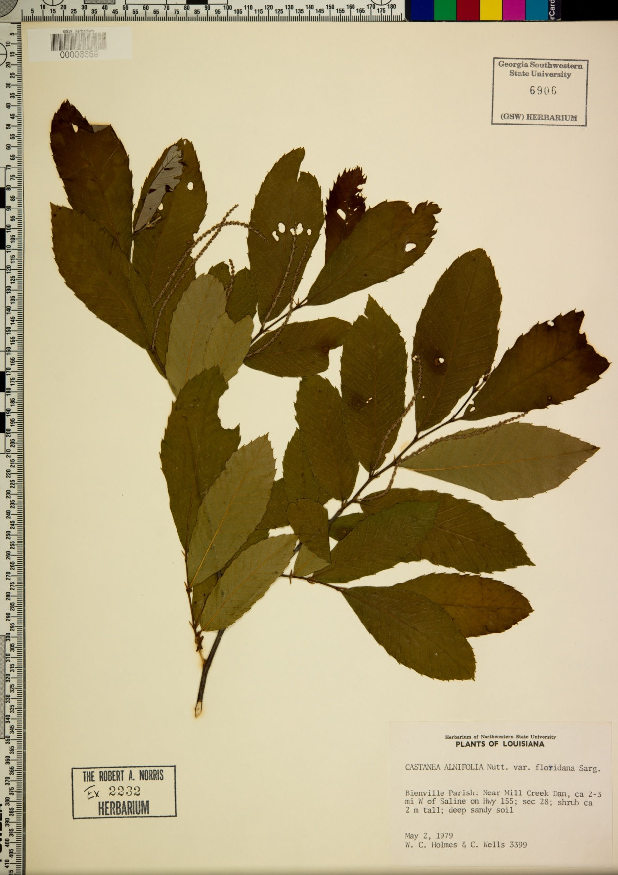 Castanea alnifolia var. floridana image