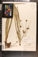 Eryngium globosum image