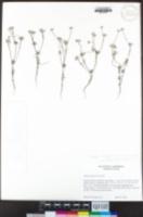 Logfia arizonica image