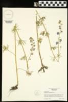 Delphinium carolinianum subsp. carolinianum image