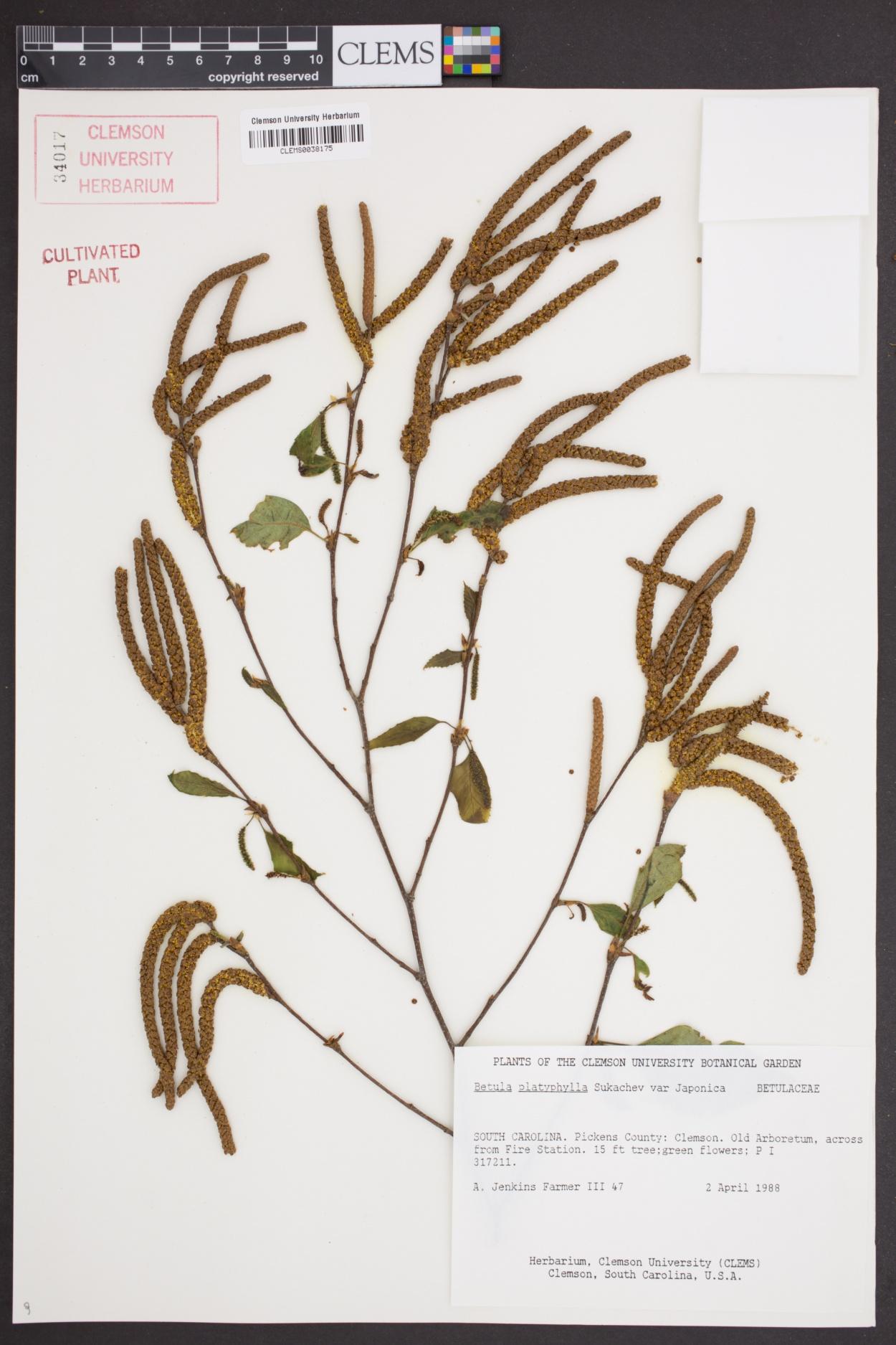 Betula platyphylla image