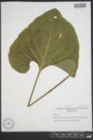 Image of Silphium reniforme