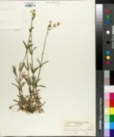 Image of Cerastium velutinum