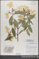 Image of Hydrangea chinensis