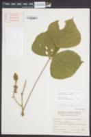 Pueraria montana image