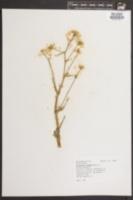 Brassica rapa image