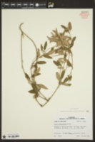 Croton argyranthemus image