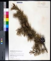 Pinus banksiana image